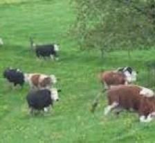 Happy cows play in the grass, run, walk, eat grass, etc.