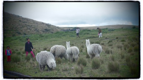 Lama sürüsü