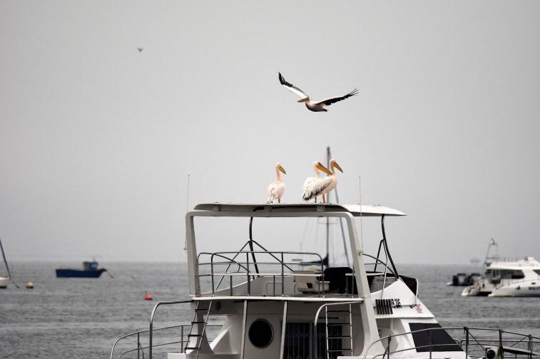 Pelicans Walvis Bay
