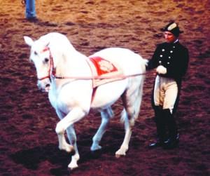 Lipizzaner Stallions