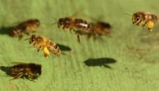 Honeybee02