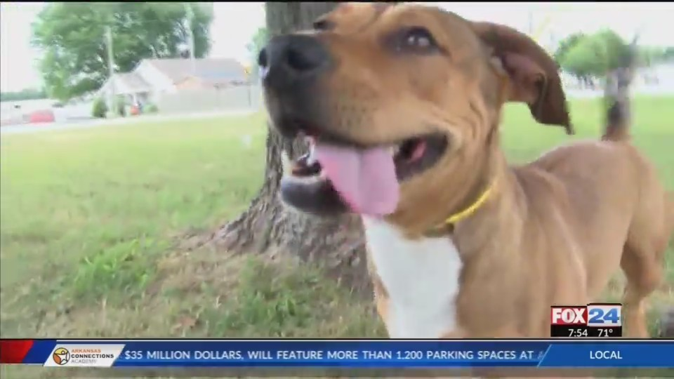 Pet_of_the_Week__Cera_the_Bassa_pit_a_do_0_20180615192938