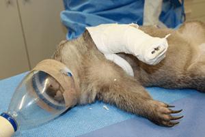 Injured Wombat