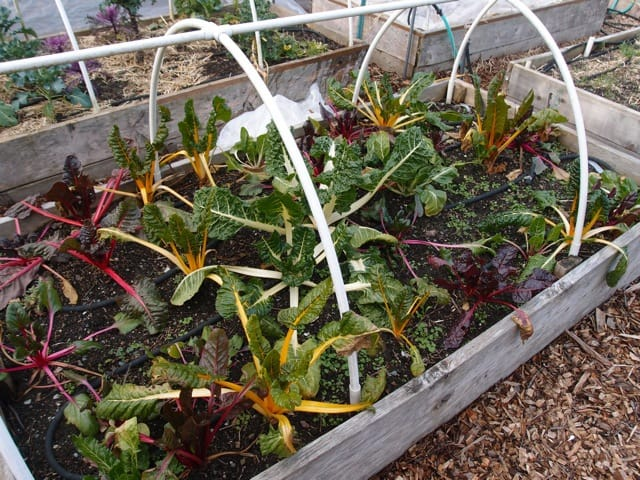 Bright Lights and Fordhook Giant Chard Bed