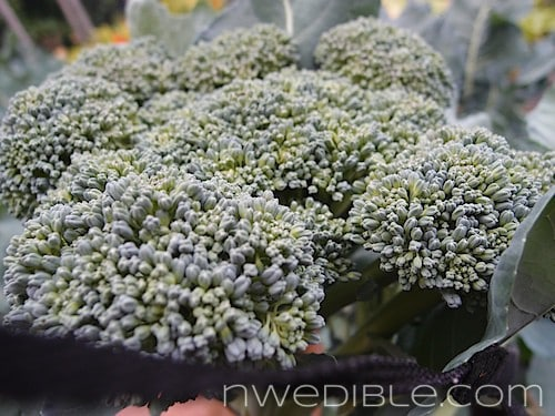 When and How To Harvest Broccoli and Cauliflower