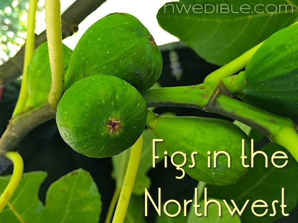 Figs in the Pacific Northwest: Will My Unripe Figs Ripen?