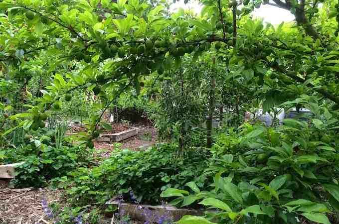 Plums heavy with green fruit, and general edible chaos.