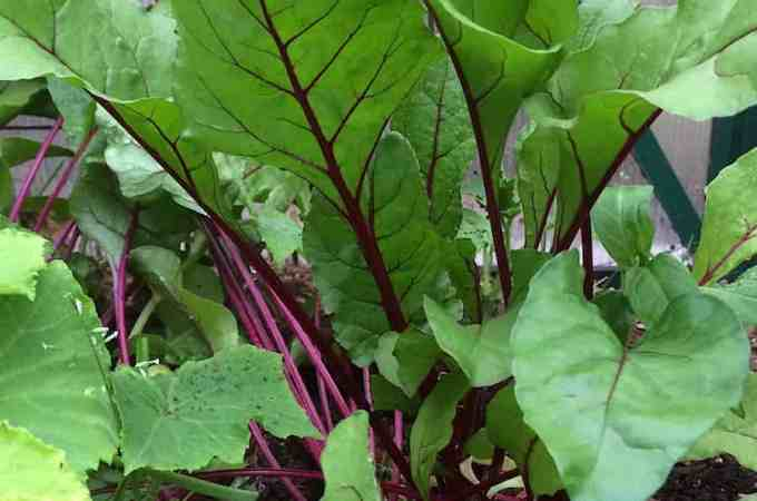 My son helped me plant beets - they are hopelessly crowded now. Beet greens for dinner!