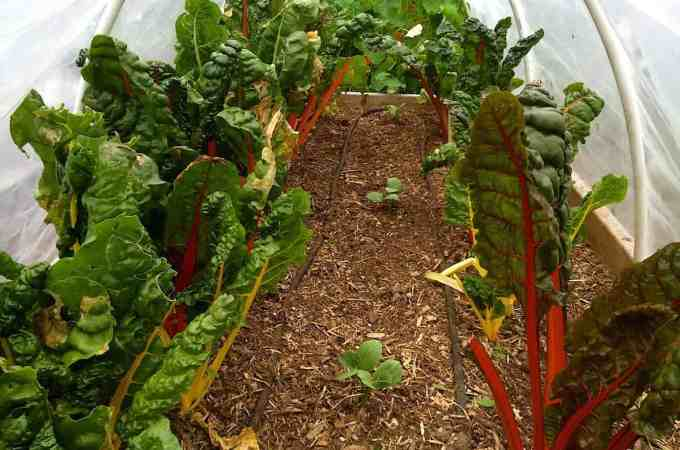 Leaf miners have found the chard! Grrr.