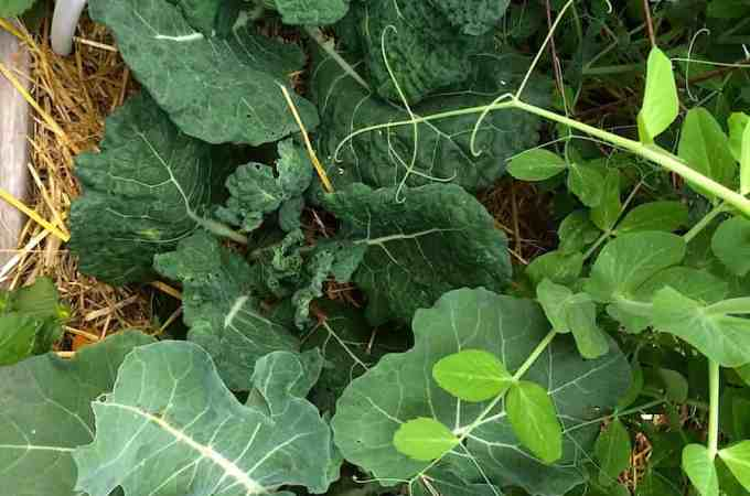 Brassicas and peas growing together.