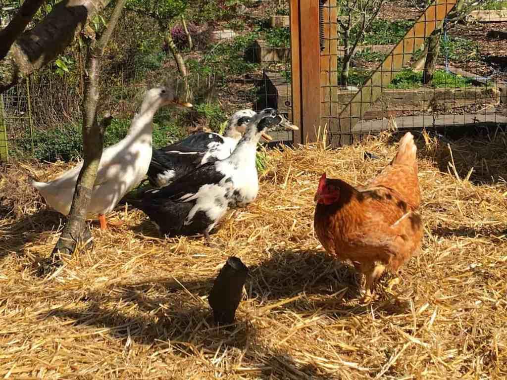 ducks-chickens