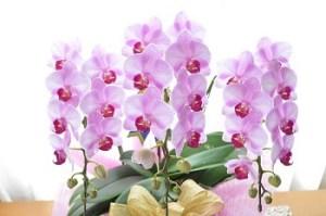 胡蝶蘭 敬老の日に合う花言葉