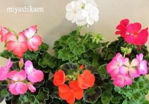 ゼラニウム 敬老の日に合う花言葉