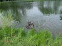 tn_ducks011
