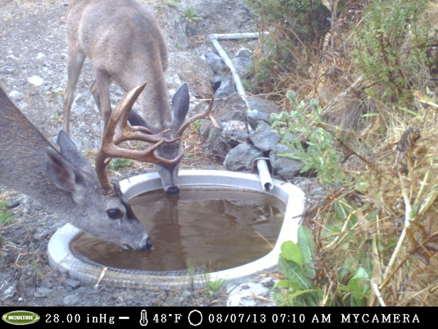 Example of the guzzlers being utilized by blacktail deer, courtesy of the Friends of Cañada de Los Osos