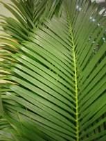Palm (Sago)