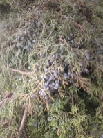 Juniper Bough