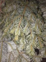 Silver Fir Bough