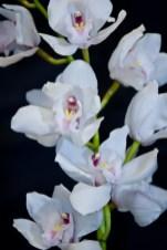 White (Mini)