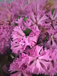 images_fresh_hyacinth_pink_4