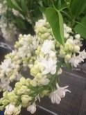 Lilacs (White)
