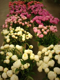images_fresh_peonies