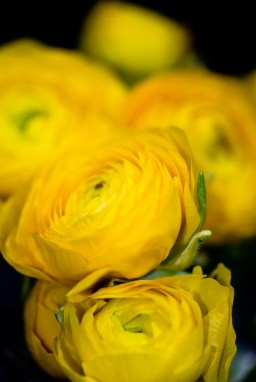 images_fresh_ranunculus_yellow