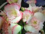 White & Pink