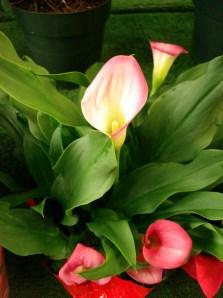 White & Pink Callas