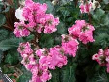 Ruffly Pink