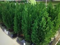 "Cypress 4"""