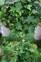 Ivy (Ball)