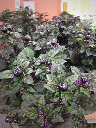 Potted Black Peppers (Canadian)