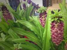 Pineapple (Eucomis)