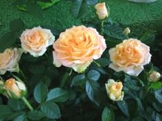 """Peach 6"""""""
