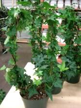 Ivy (Hoop)