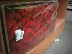 Reindeer Moss (Dyed Red)