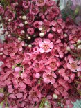 Red Waxflower