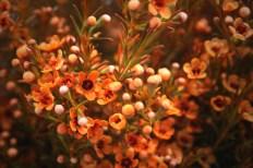 Orange (Dyed) Waxflower