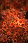Orange (Dyed) Waxflower