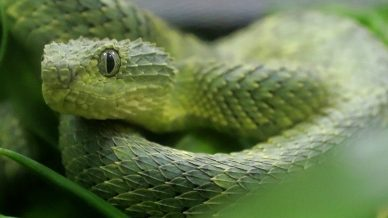 An venomous African Bush Viper is displayed for reporters at the Woodland Park Zoo Friday, Dec. 14, 2018, in Seattle.(AP Photo/Ted S. Warren)