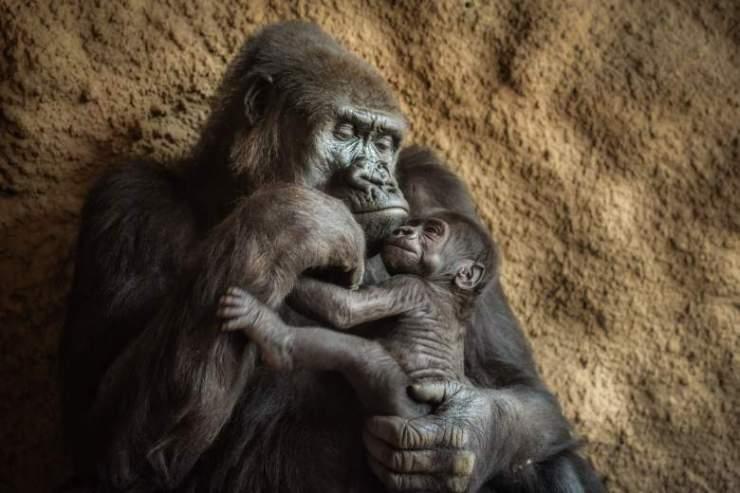 gorilla kept captive at a zoo