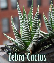 Haworthia (Zebra Cactus) - Super Succulent