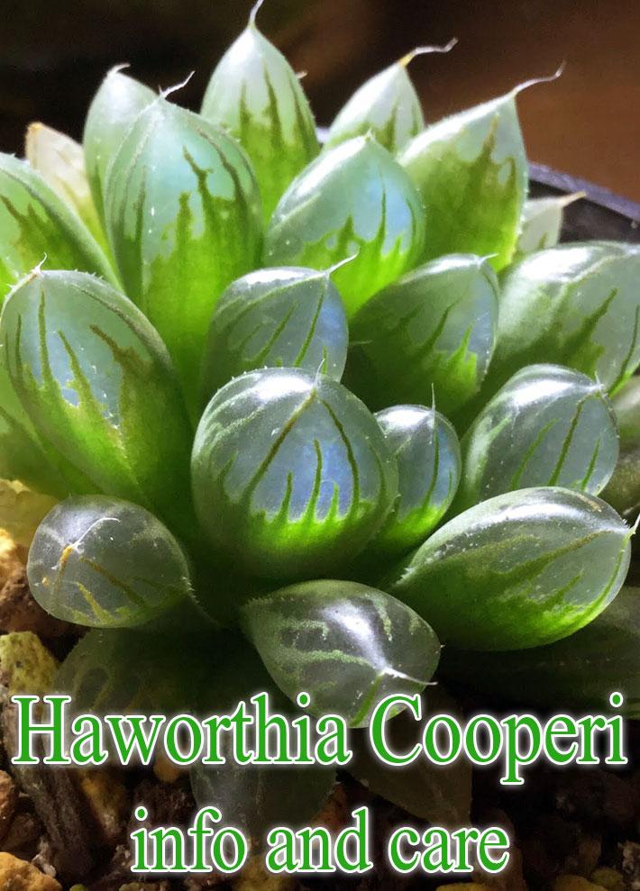 Haworthia cooperi var. truncata – Info and Care