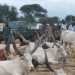 In the picture are dinka members of SPLA guarding cattles of their resettled dinka community in Western Equatoria...