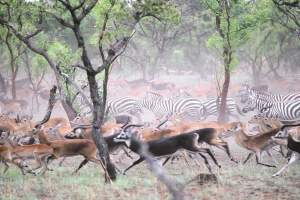 White eared kobs and zebras migrating through Boma National Park in South Sudan(Photo credit: The Great Migration)