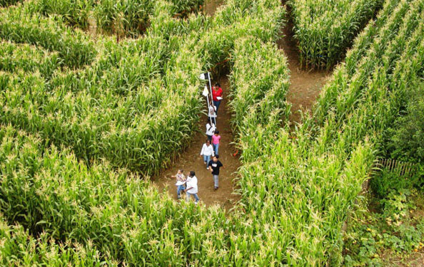 aerial view of a family walking through a corn field designed into a maze