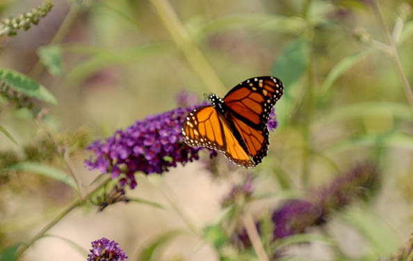 a monarch butterfly in the park