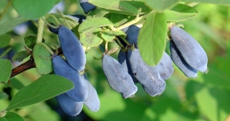 Honeyberry – Lonicera Caerulea