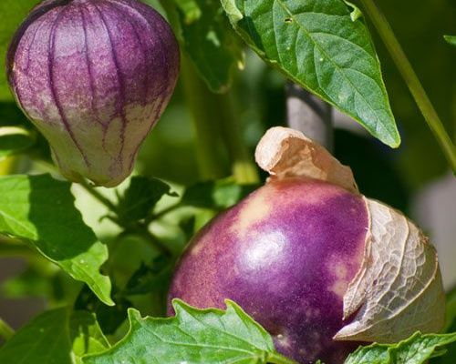 Purple Tomatillo – Physalis Ixocarp